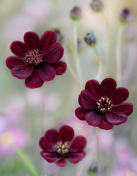 цветы бордовые