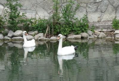 Сквер Лебединое озеро - место для фотосессии в Каменце-Подольском - портфолио 5