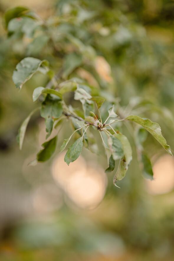 Яблуневий садок - фото №5